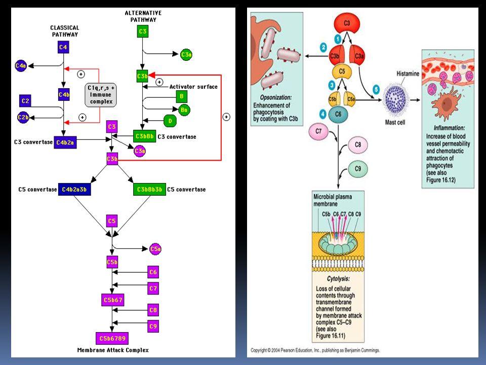 Via classica meccanismi di controllo Le reazioni che caratterizzano la via classica sono soggette al controllo di diverse proteine solubili quali : C1 inibitore ( C1 INH ) : questo fattore agisce su C1, bloccando lattività enzimatica di C1s ( edema angioneurotico, dipende dallassenza di questo fattore) C4bp ( C4 binding protein) : questo fattore si lega al C4b, bloccando la formazione del complesso C4b2a e permettendo, cosi, il legame del fattore H, capace a sua volta di inattivare, oltre che il C3b, anche il C4b.