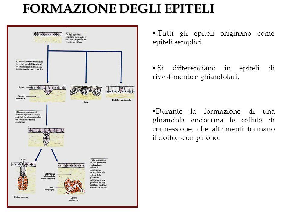 FORMAZIONE DEGLI EPITELI Tutti gli epiteli originano come epiteli semplici. Si differenziano in epiteli di rivestimento e ghiandolari. Durante la form