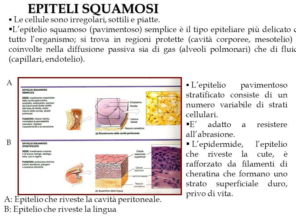 EPITELI SQUAMOSI A: Epitelio che riveste la cavità peritoneale. B: Epitelio che riveste la lingua A B Le cellule sono irregolari, sottili e piatte. Le
