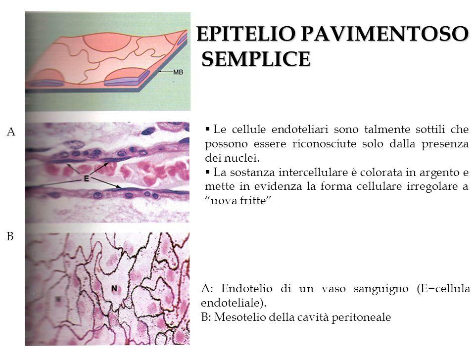 A B A: Endotelio di un vaso sanguigno (E=cellula endoteliale). B: Mesotelio della cavità peritoneale Le cellule endoteliari sono talmente sottili che