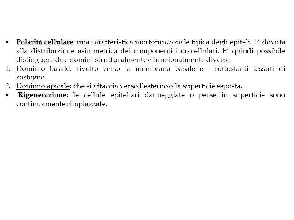 Polarità cellulare Polarità cellulare : una caratteristica morfofunzionale tipica degli epiteli. E dovuta alla distribuzione asimmetrica dei component