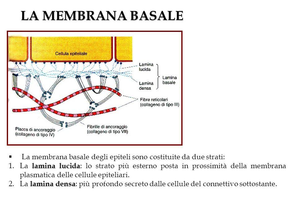 LA MEMBRANA BASALE La membrana basale degli epiteli sono costituite da due strati: lamina lucida 1.La lamina lucida : lo strato più esterno posta in p