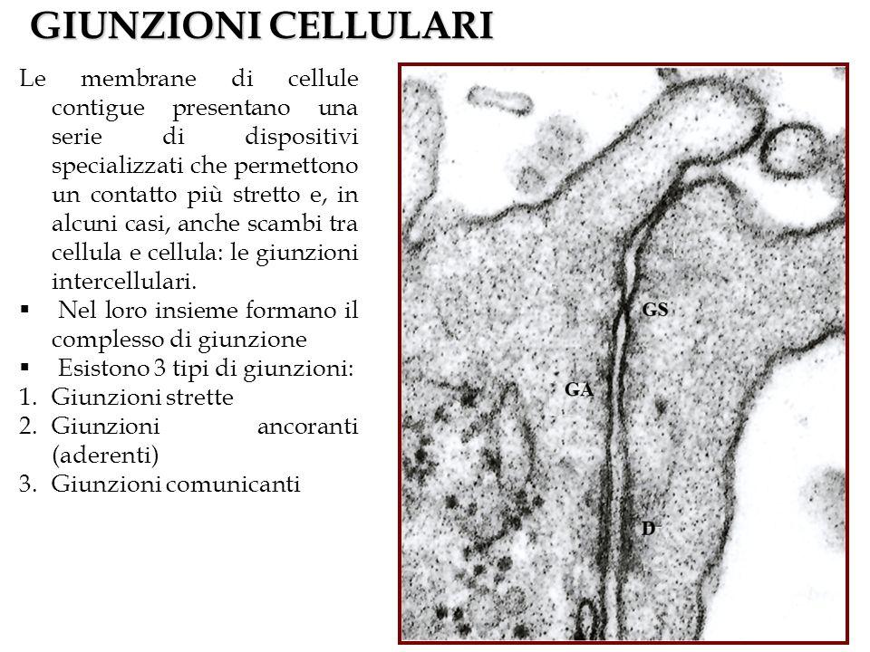 GIUNZIONI CELLULARI Le membrane di cellule contigue presentano una serie di dispositivi specializzati che permettono un contatto più stretto e, in alc