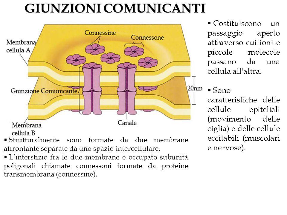 GIUNZIONI COMUNICANTI Costituiscono un passaggio aperto attraverso cui ioni e piccole molecole passano da una cellula all altra.