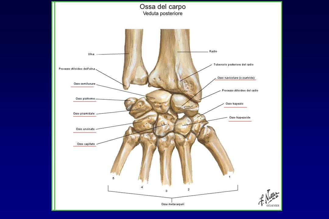 ANATOMIA: ossa del carpo