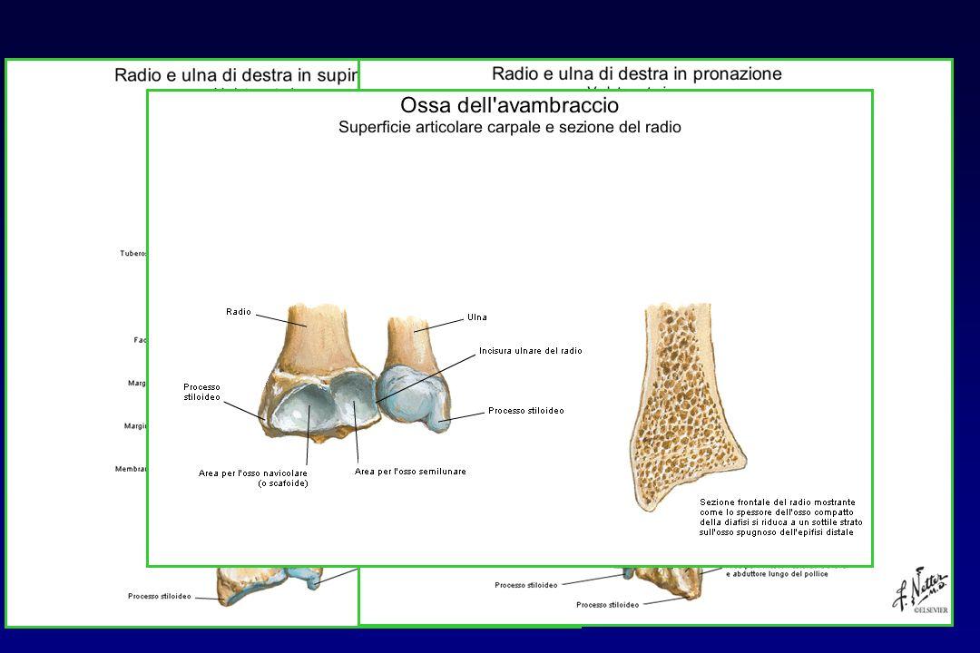 ANATOMIA: articolazione radio-ulnare distale Ginglimo laterale Mezzi dunione: membrana interossea, disco articolare, capsula fibrosa