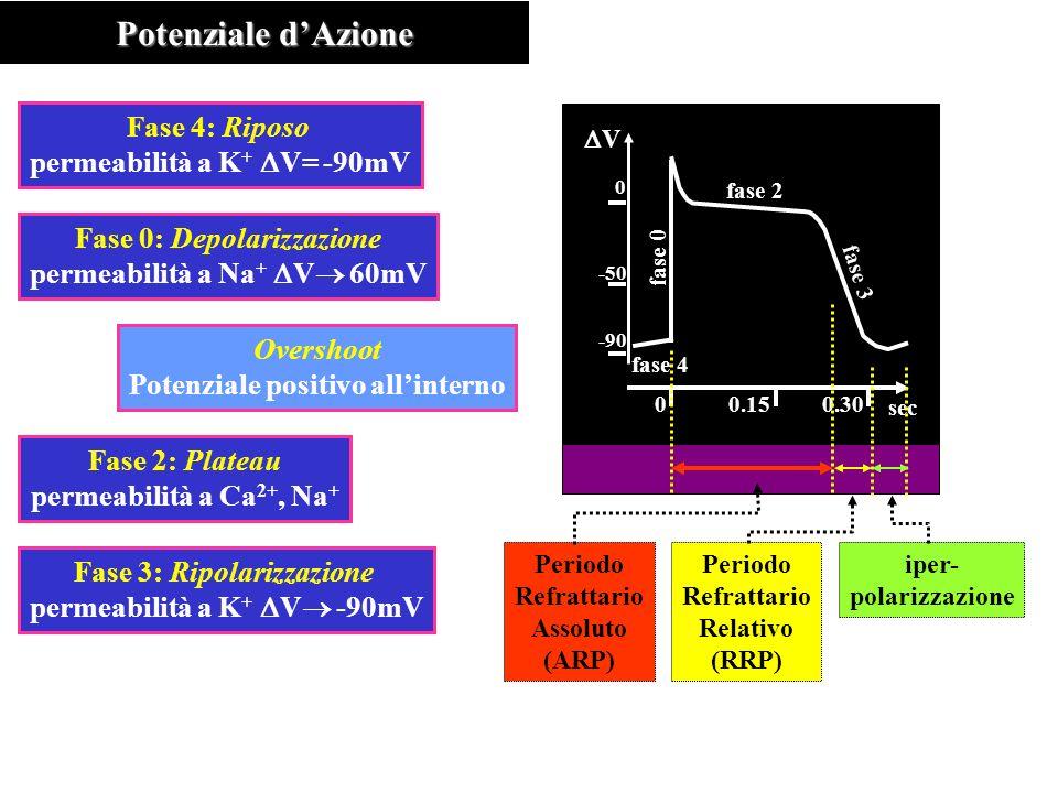 -90 -50 0 V Potenziale dAzione Fase 4: Riposo permeabilità a K + V= -90mV Fase 0: Depolarizzazione permeabilità a Na + V 60mV Overshoot Potenziale positivo allinterno Fase 2: Plateau permeabilità a Ca 2+, Na + Fase 3: Ripolarizzazione permeabilità a K + V -90mV fase 4 fase 0 fase 2 fase 3 00.150.30 sec Periodo Refrattario Assoluto (ARP) Periodo Refrattario Relativo (RRP) iper- polarizzazione