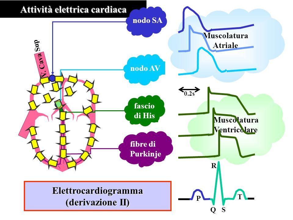 Muscolatura Ventricolare Muscolatura Atriale Attività elettrica cardiaca nodo SA nodo AV fascio di His V. Cava Sup fibre di Purkinje 0.2s P T QS R Ele