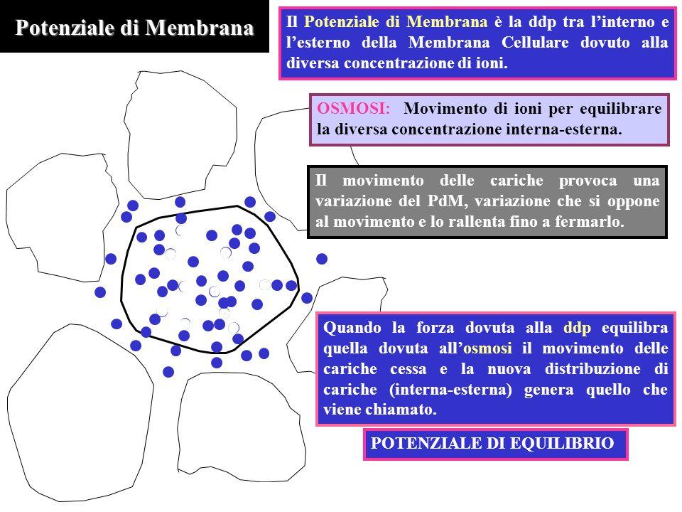 Potenziale di Membrana OSMOSI: Movimento di ioni per equilibrare la diversa concentrazione interna-esterna. Il Potenziale di Membrana è la ddp tra lin