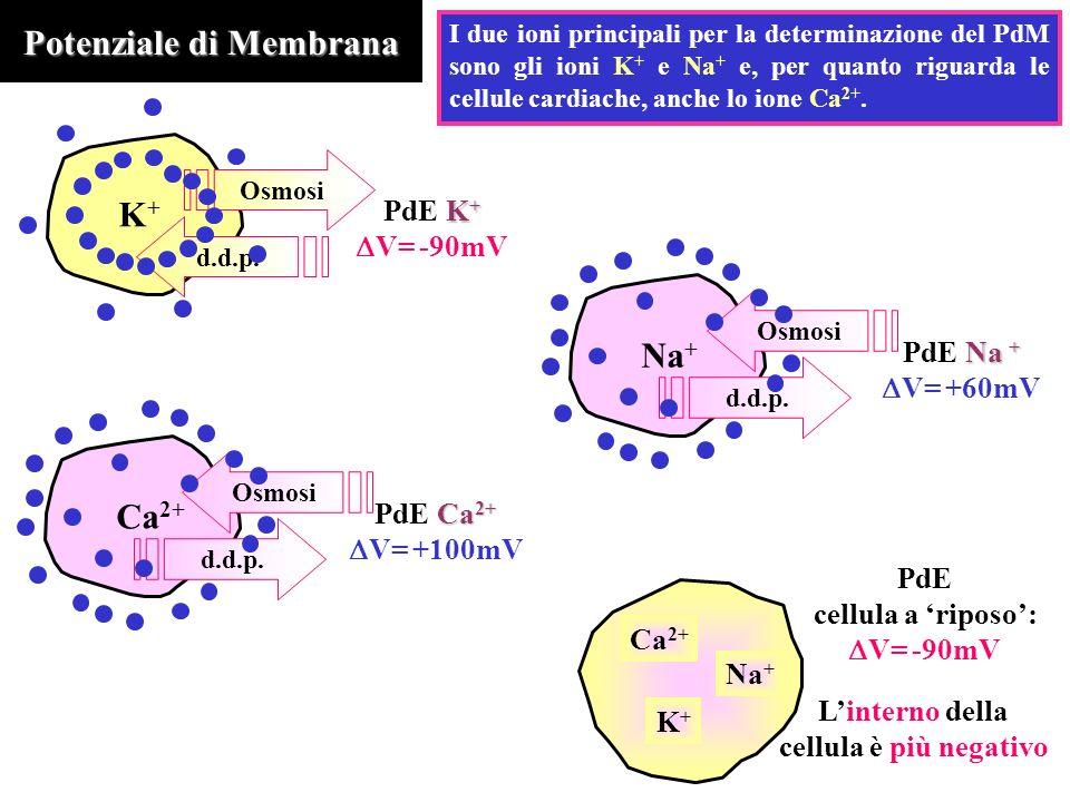 Potenziale di Membrana I due ioni principali per la determinazione del PdM sono gli ioni K + e Na + e, per quanto riguarda le cellule cardiache, anche lo ione Ca 2+.