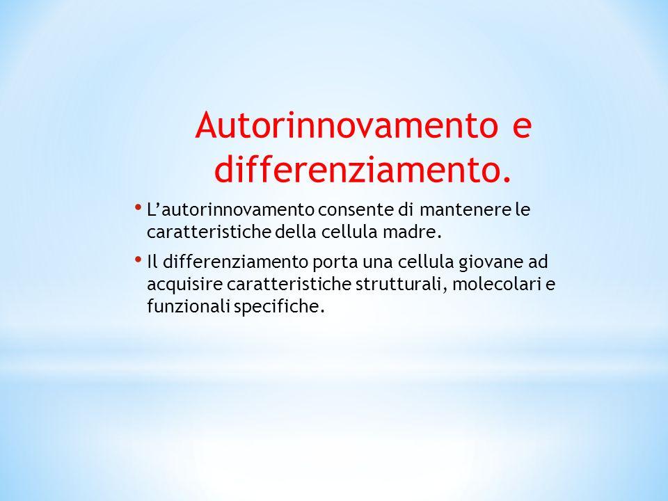 Autorinnovamento e differenziamento. Lautorinnovamento consente di mantenere le caratteristiche della cellula madre. Il differenziamento porta una cel