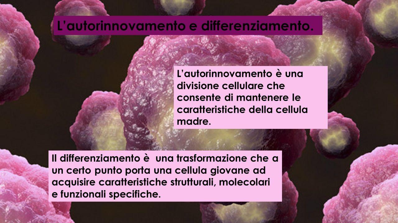 Lautorinnovamento e differenziamento. Lautorinnovamento è una divisione cellulare che consente di mantenere le caratteristiche della cellula madre. Il