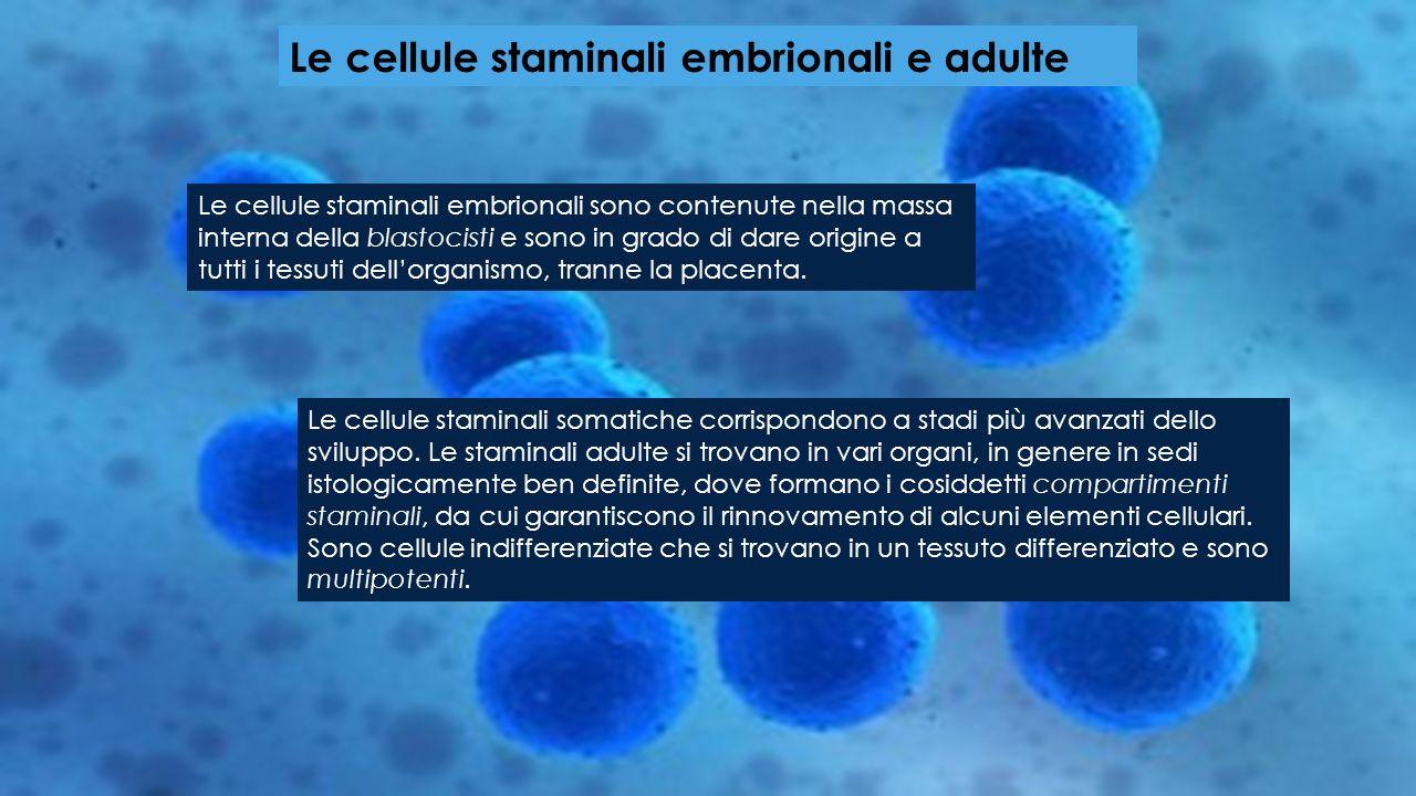Le cellule staminali embrionali e adulte Le cellule staminali embrionali sono contenute nella massa interna della blastocisti e sono in grado di dare