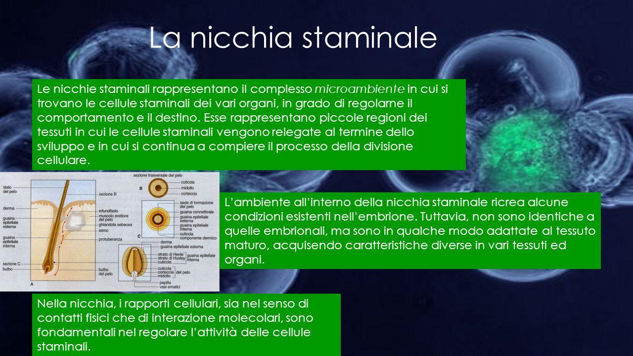 La nicchia staminale Le nicchie staminali rappresentano il complesso microambiente in cui si trovano le cellule staminali dei vari organi, in grado di