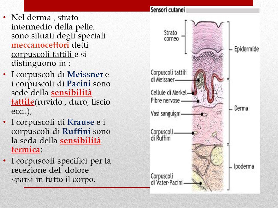 Nel derma, strato intermedio della pelle, sono situati degli speciali meccanocettori detti corpuscoli tattili e si distinguono in : I corpuscoli di Me