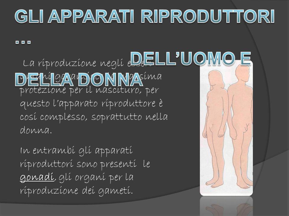 La riproduzione negli esseri umani garantisce la massima protezione per il nascituro, per questo lapparato riproduttore è cosi complesso, soprattutto nella donna.