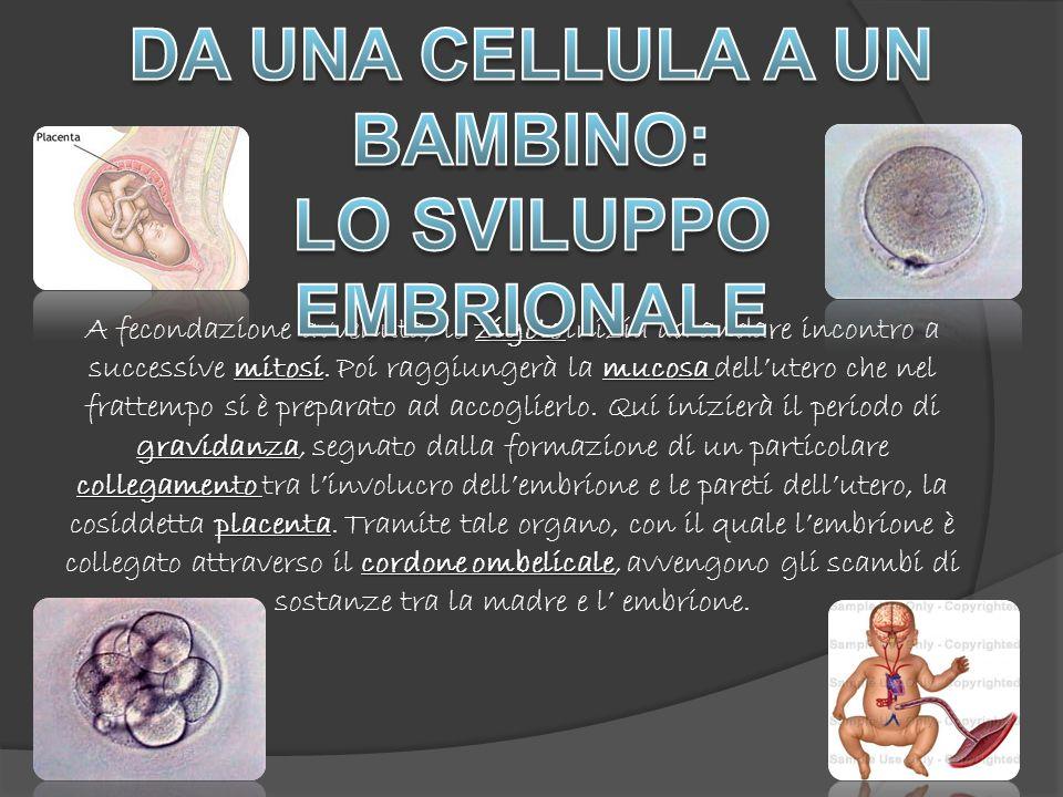 zigote mitosimucosa gravidanza collegamento placenta cordone ombelicale A fecondazione avvenuta, lo zigote inizia ad andare incontro a successive mitosi.