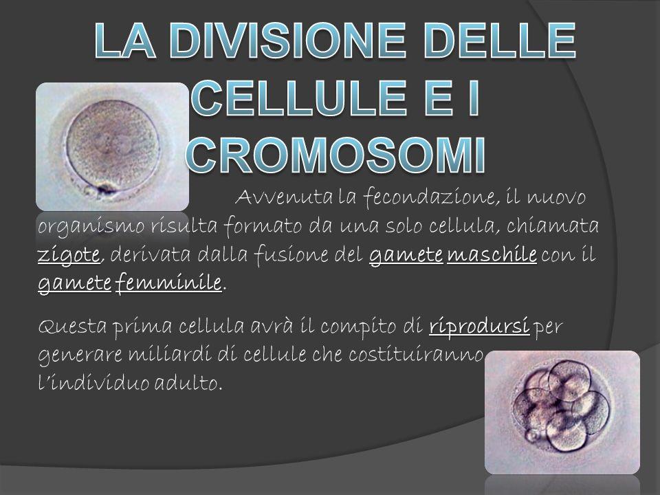 DNA cromosomi Nel momento in cui una cellula va incontro a divisione, il DNA si condensa a formare i cromosomi, corpuscoli che al microscopio appaiono come minuscole matasse.
