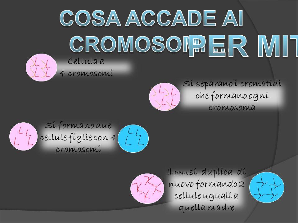 Cellula a 4 cromosomi.