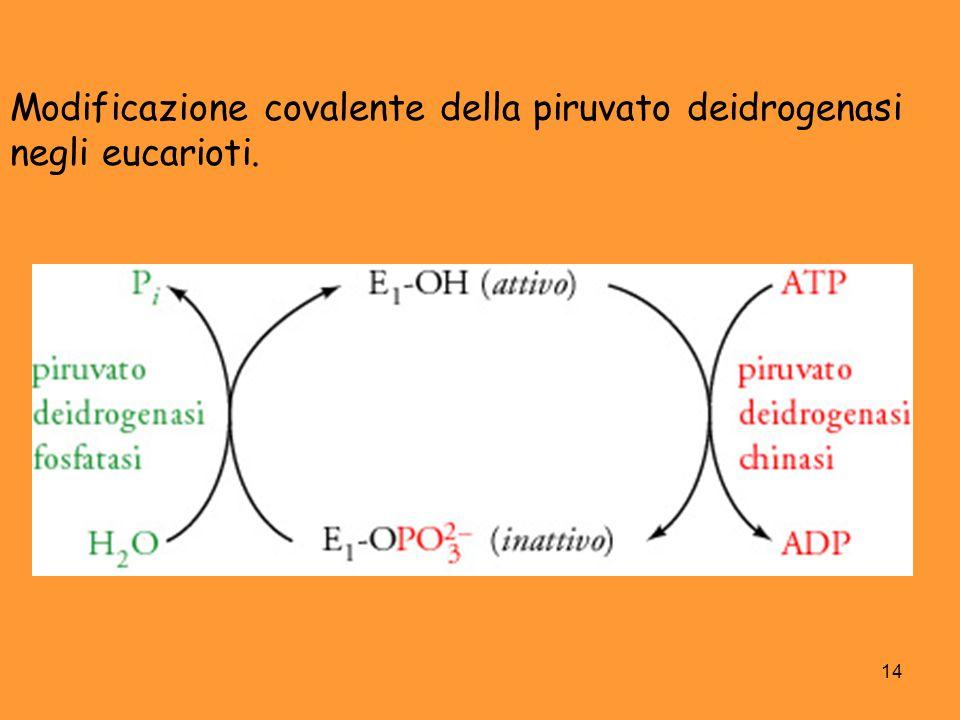 14 Modificazione covalente della piruvato deidrogenasi negli eucarioti.