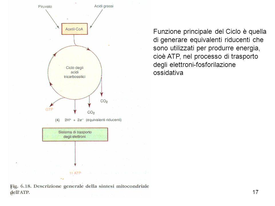 17 Funzione principale del Ciclo è quella di generare equivalenti riducenti che sono utilizzati per produrre energia, cioè ATP, nel processo di traspo