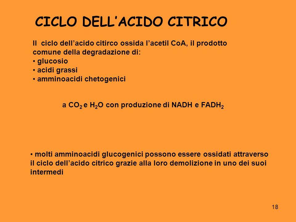 18 CICLO DELLACIDO CITRICO Il ciclo dellacido citirco ossida lacetil CoA, il prodotto comune della degradazione di: glucosio acidi grassi amminoacidi