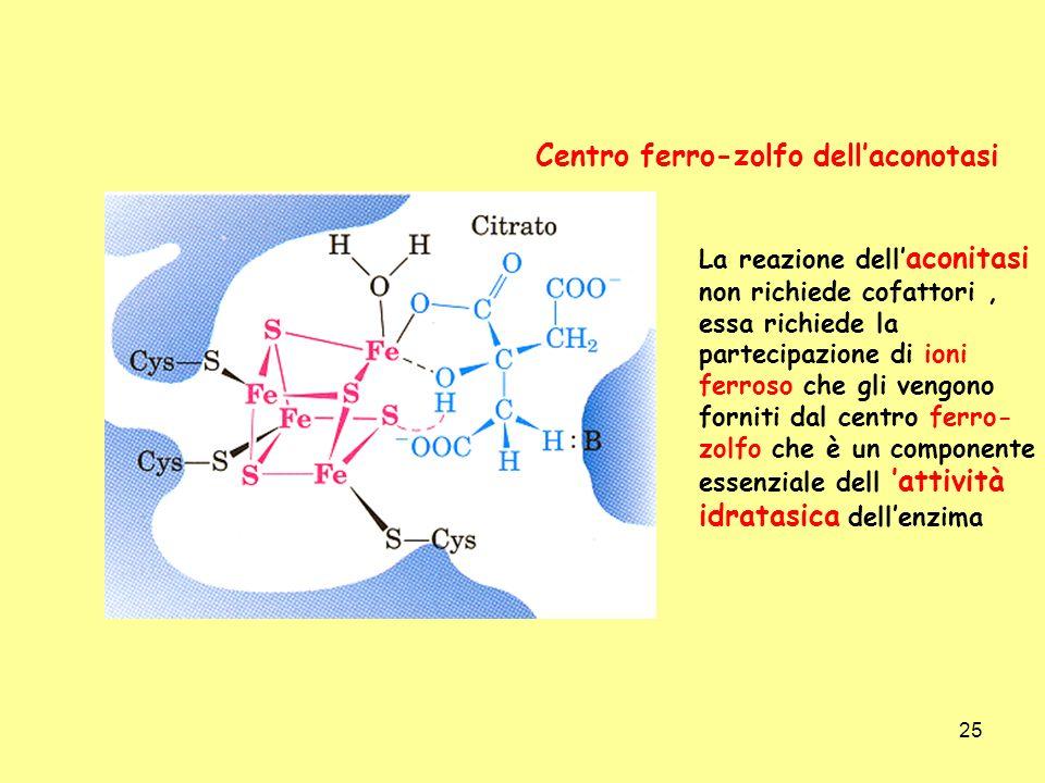 25 Centro ferro-zolfo dellaconotasi La reazione dell aconitasi non richiede cofattori, essa richiede la partecipazione di ioni ferroso che gli vengono