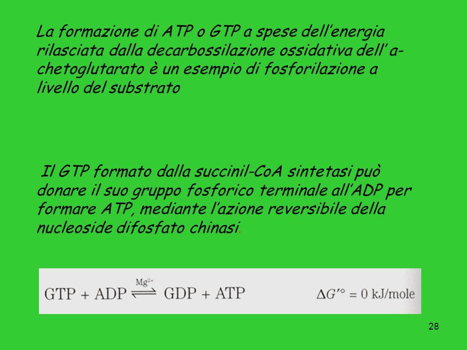 28 La formazione di ATP o GTP a spese dellenergia rilasciata dalla decarbossilazione ossidativa dell a- chetoglutarato è un esempio di fosforilazione