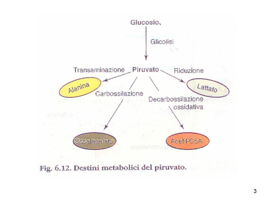 4 Il piruvato, derivato dal glucosio ad opera della glicolisi, viene ossidato formando acetil CoA e CO 2 per azione di 3 enzimi organizzati nel complesso della piruvato deidrogenasi, localizzato nei mitocondri delle cellule eucariotiche.