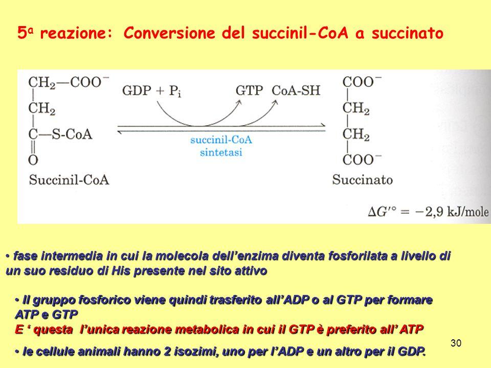 30 Conversione del succinil-CoA a succinato5 a reazione: fase intermedia in cui la molecola dellenzima diventa fosforilata a livello di un suo residuo