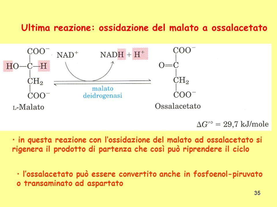 35 Ultima reazione: ossidazione del malato a ossalacetato in questa reazione con lossidazione del malato ad ossalacetato si rigenera il prodotto di pa