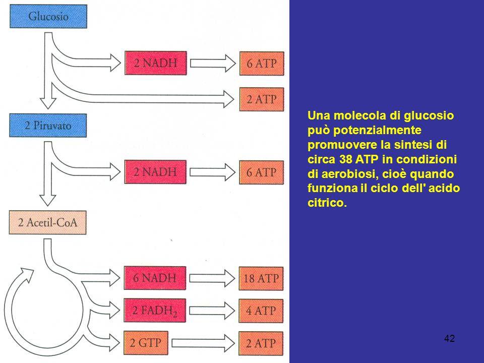 42 Una molecola di glucosio può potenzialmente promuovere la sintesi di circa 38 ATP in condizioni di aerobiosi, cioè quando funziona il ciclo dell' a