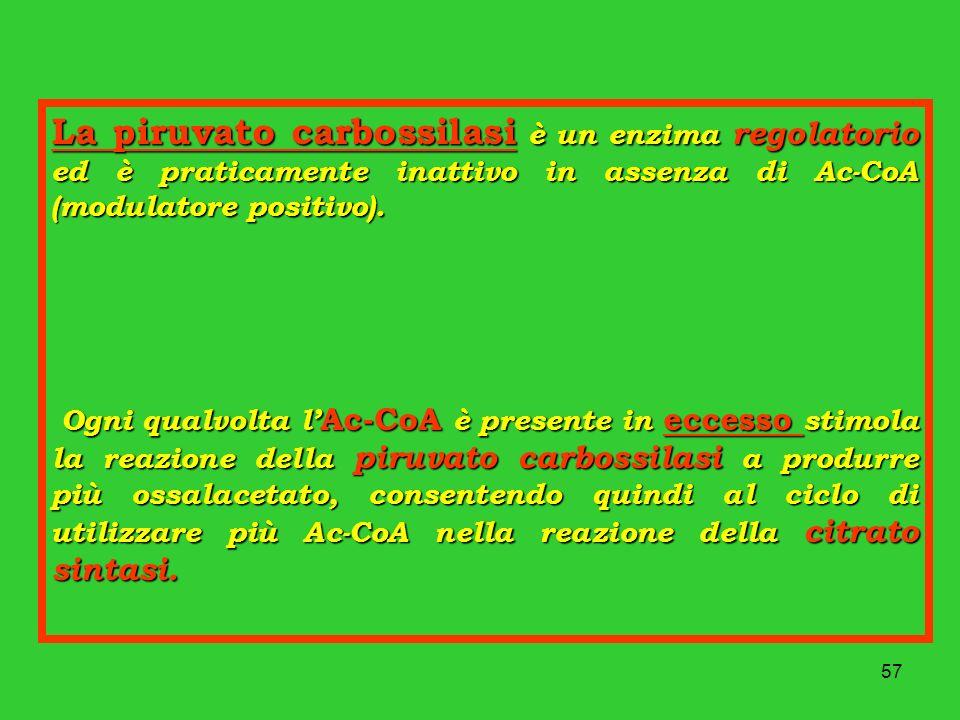 57 La piruvato carbossilasi è un enzima regolatorio ed è praticamente inattivo in assenza di Ac-CoA (modulatore positivo). Ogni qualvolta l Ac-CoA è p