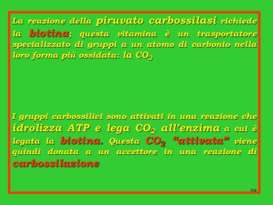 58 La reazione della piruvato carbossilasi richiede la biotina ; questa vitamina è un trasportatore specializzato di gruppi a un atomo di carbonio nel