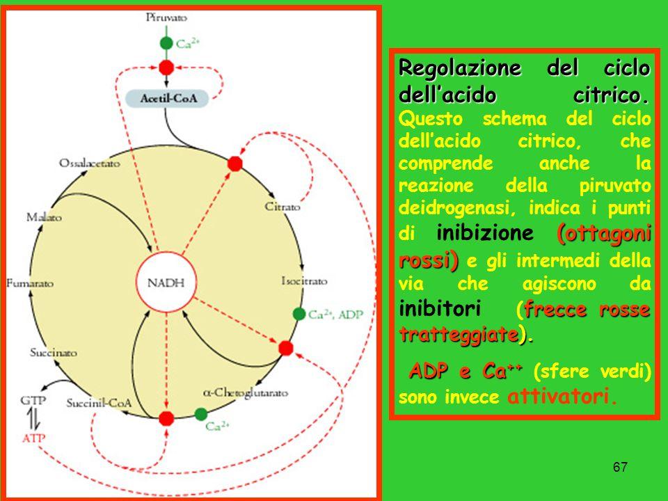 67 Regolazione del ciclo dellacido citrico. (ottagoni rossi) frecce rosse tratteggiate). Regolazione del ciclo dellacido citrico. Questo schema del ci