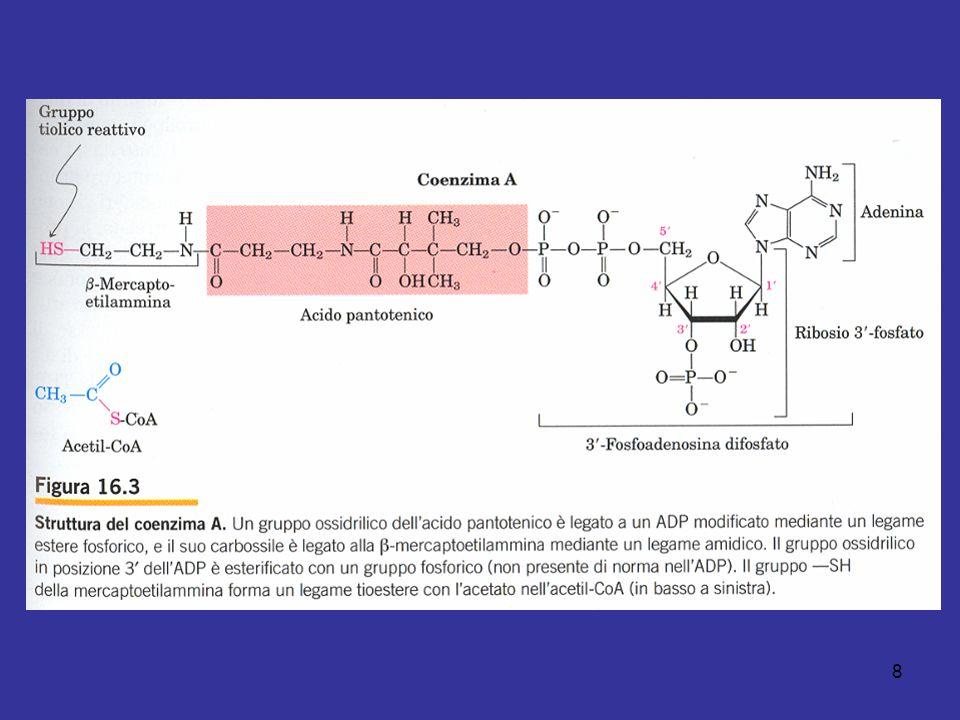 59 La piruvato carbossilasi è composta da 4 subunità identiche, contenenti ognuna una molecola di biotina legata covalentemente mediante un legame amidico con il gruppo aminico e di uno specifico residuo di lisina.