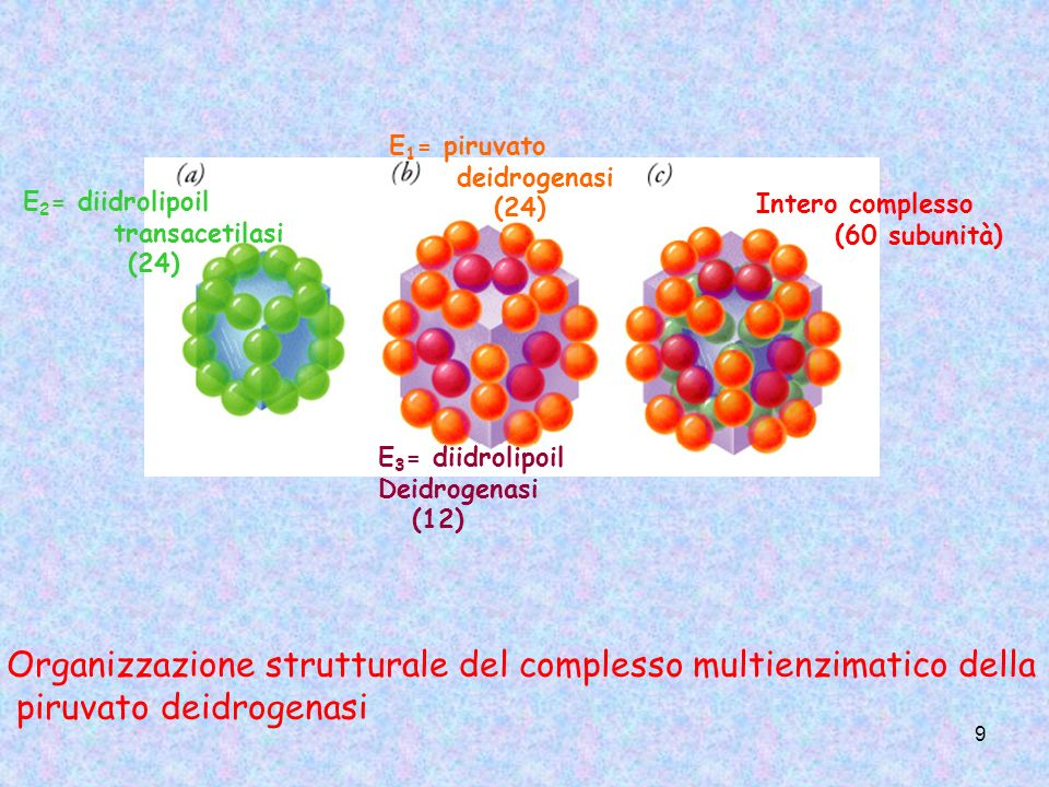 9 Organizzazione strutturale del complesso multienzimatico della piruvato deidrogenasi E 2 = diidrolipoil transacetilasi (24) E 1 = piruvato deidrogen