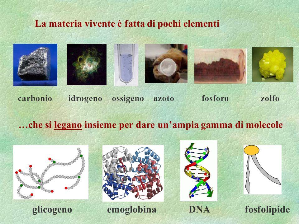 La materia vivente è fatta di pochi elementi …che si legano insieme per dare unampia gamma di molecole carbonio idrogeno ossigeno azoto fosforo zolfo glicogeno emoglobina DNA fosfolipide