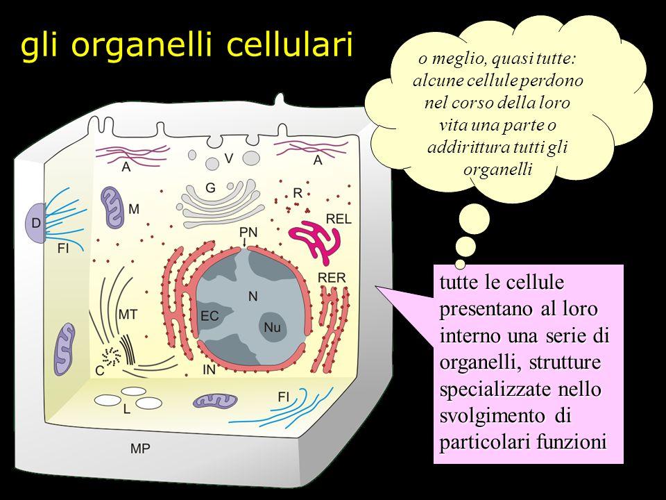Il nucleo linvolucro presenta discontinuità dette pori nucleari il nucleo appare circondato da un sistema di membrane detto involucro nucleare il nucleo contiene cromatina, qui rappresentata in azzurro