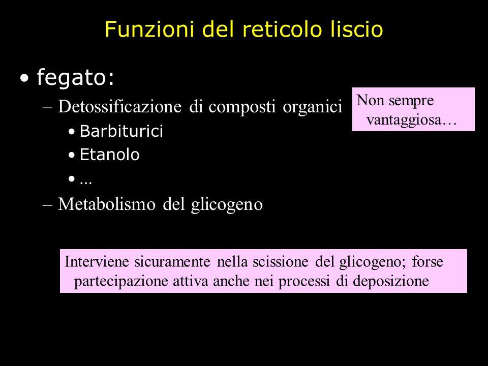 Funzioni del reticolo liscio fegato: –Detossificazione di composti organici Barbiturici Etanolo … –Metabolismo del glicogeno Non sempre vantaggiosa… I