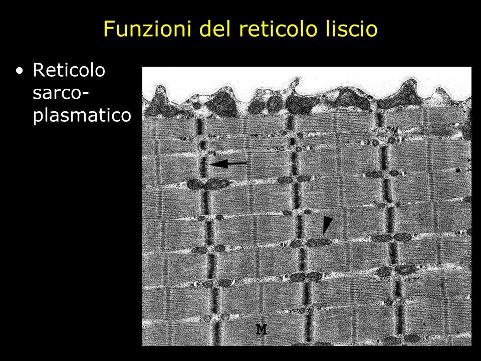 Funzioni del reticolo liscio Reticolo sarco- plasmatico