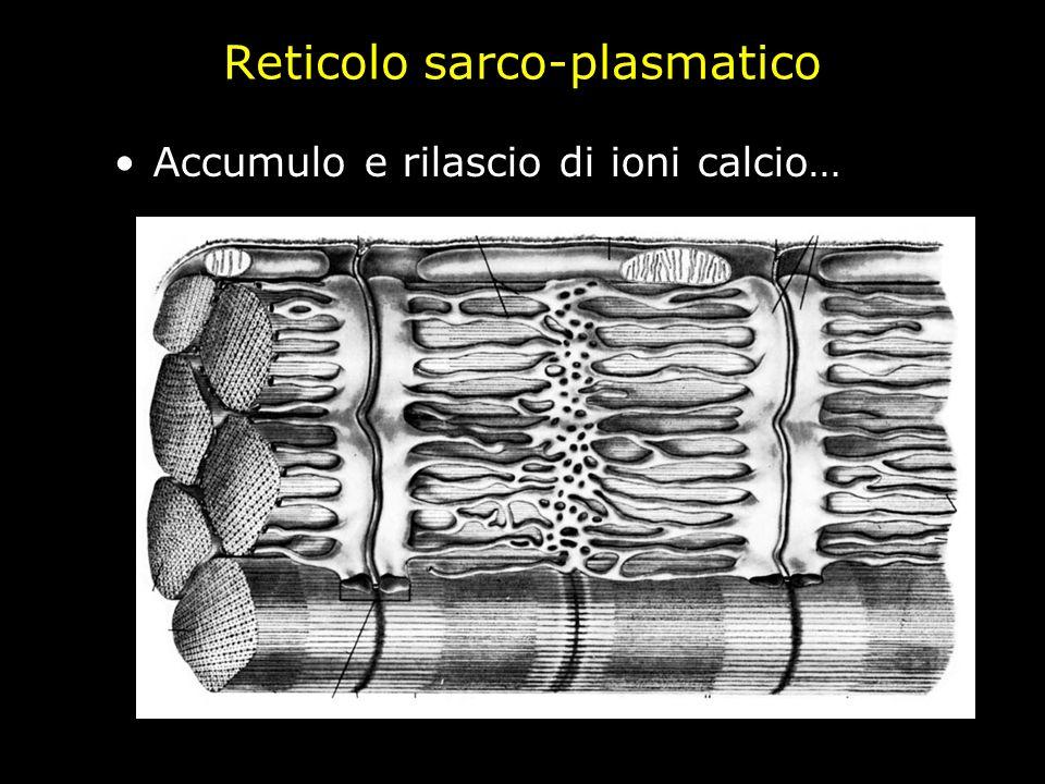 Accumulo e rilascio di ioni calcio…