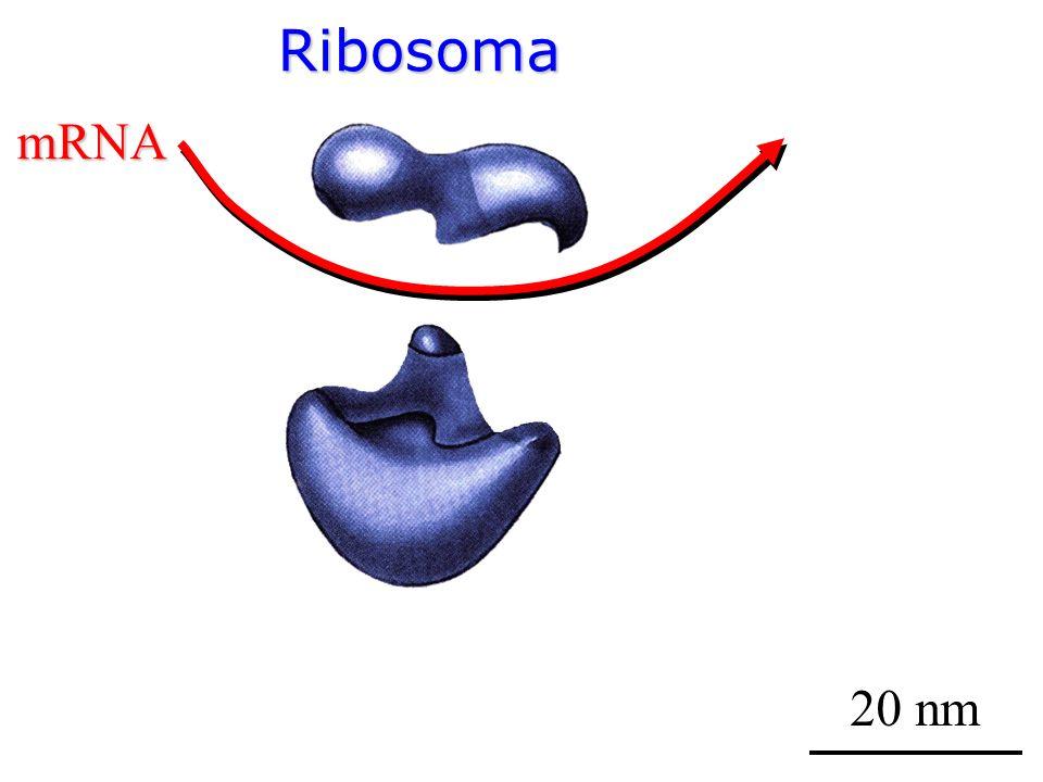 Ribosoma 20 nm mRNA
