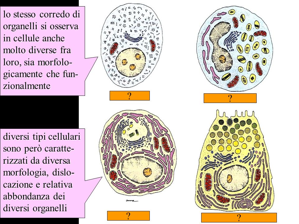 somiglianze e differenze fra tipi cellulari nel corredo di organelli lo stesso corredo di organelli si osserva in cellule anche molto diverse fra loro