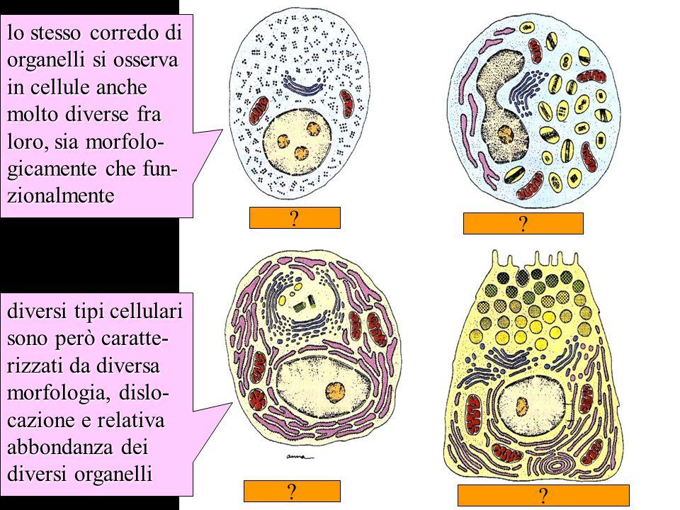 morfologia del mitocondrio