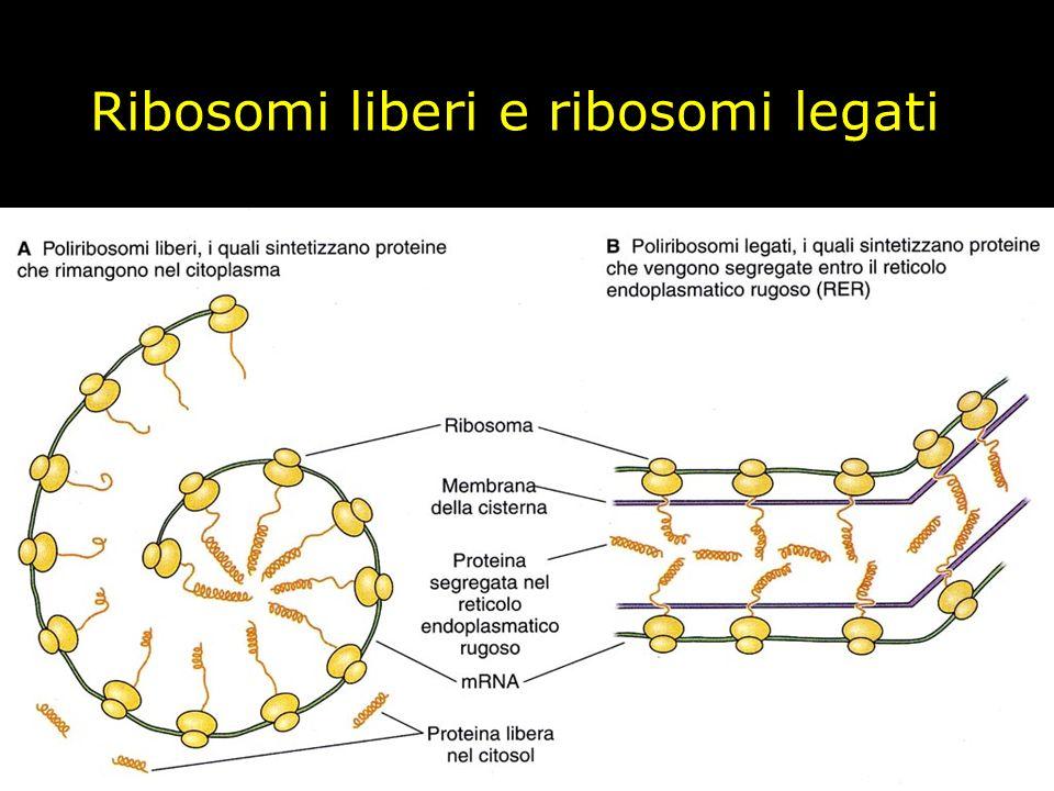 Ribosomi liberi e ribosomi legati