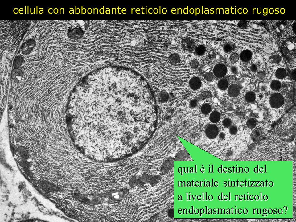 cellula con abbondante reticolo endoplasmatico rugoso qual è il destino del materiale sintetizzato a livello del reticolo endoplasmatico rugoso?