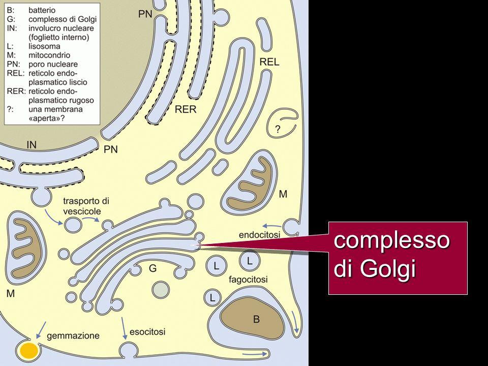 complesso di Golgi