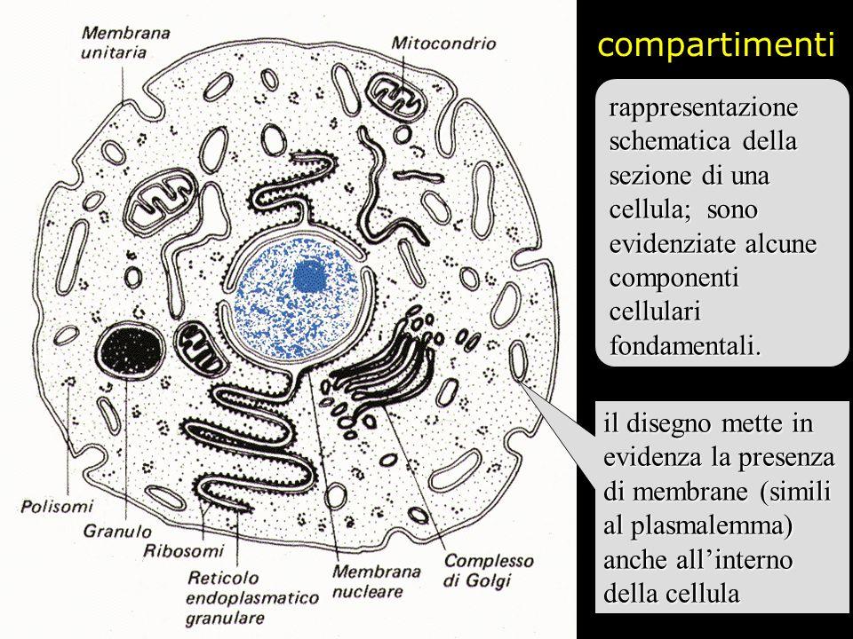 compartimenti rappresentazione schematica della sezione di una cellula; sono evidenziate alcune componenti cellulari fondamentali. il disegno mette in
