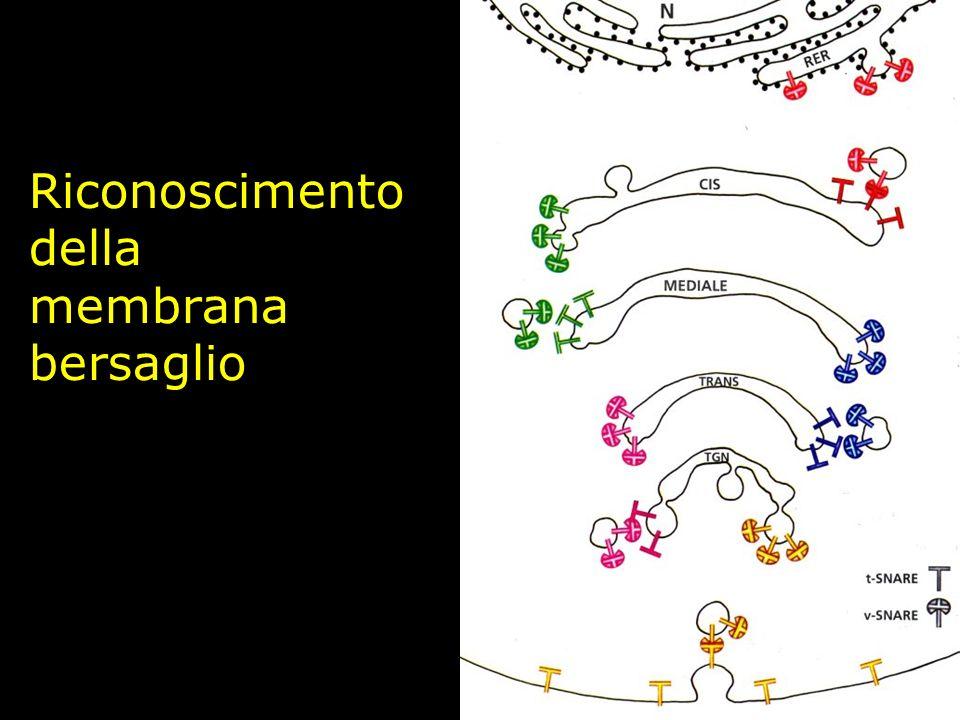 Riconoscimento della membrana bersaglio